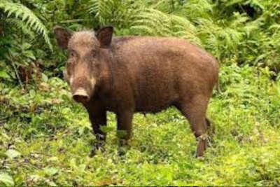 BACK IN THE DAY: Hog Hunting on Horseback